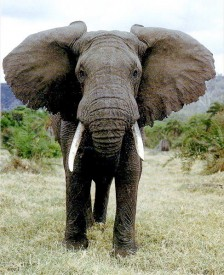 Mouse Scaring An Elephant